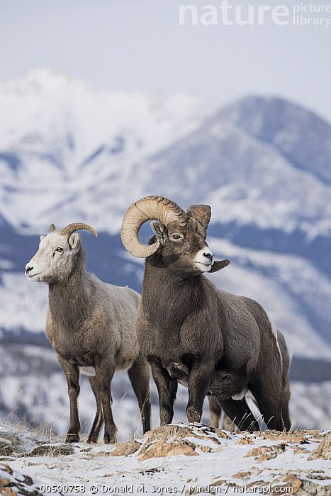 Bighorn Sheep (Ovis canadensis) female and male in winter, Jasper National Park, Alberta, Canada, Adult, Alberta, Bighorn Sheep, Canada, Color Image, Day, Dimorphic, Female, Full Length, Jasper National Park, Male, Nobody, Outdoors, Ovis canadensis, Photography, Ram, Sexual Dimorphism, Side View, Snow, Two Animals, Vertical, Wildlife, Winter, Donald M. Jones