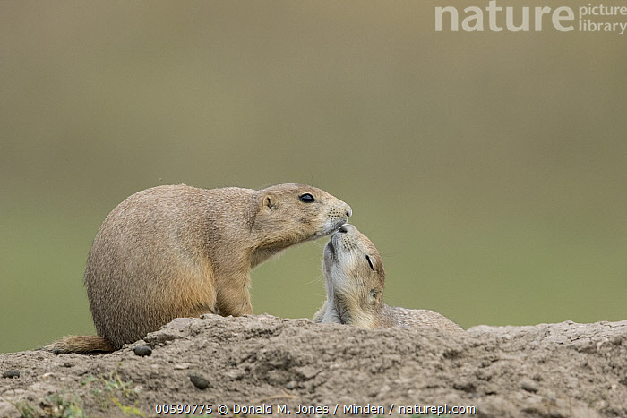 Black-tailed Prairie Dog (Cynomys ludovicianus) pair greeting, South Dakota, Adult, Affection, Black-tailed Prairie Dog, Color Image, Cynomys ludovicianus, Day, Full Length, Greeting, Horizontal, Kissing, Nobody, Outdoors, Photography, Side View, Smelling, South Dakota, Tenderness, Touching, Two Animals, Wildlife, Donald M. Jones