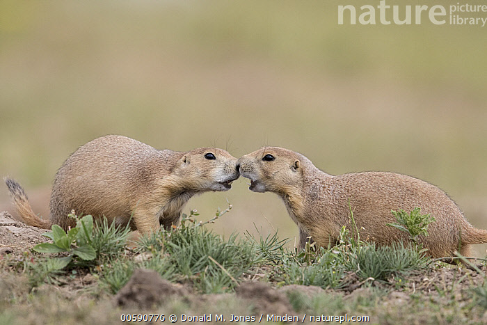 Black-tailed Prairie Dog (Cynomys ludovicianus) pair greeting, South Dakota  ,  Adult, Black-tailed Prairie Dog, Color Image, Cynomys ludovicianus, Day, Facing, Full Length, Greeting, Horizontal, Kissing, Nobody, Nuzzling, Outdoors, Photography, Side View, South Dakota, Three Quarter Length, Touching, Two Animals, Wildlife  ,  Donald M. Jones