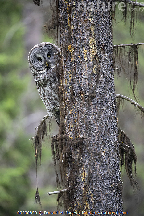 Great Gray Owl (Strix nebulosa), Yaak, Montana  ,  Adult, Color Image, Day, Front View, Full Length, Great Gray Owl, Looking at Camera, Montana, Nobody, One Animal, Outdoors, Peeking, Photography, Raptor, Strix nebulosa, Vertical, Wildlife, Yaak  ,  Donald M. Jones