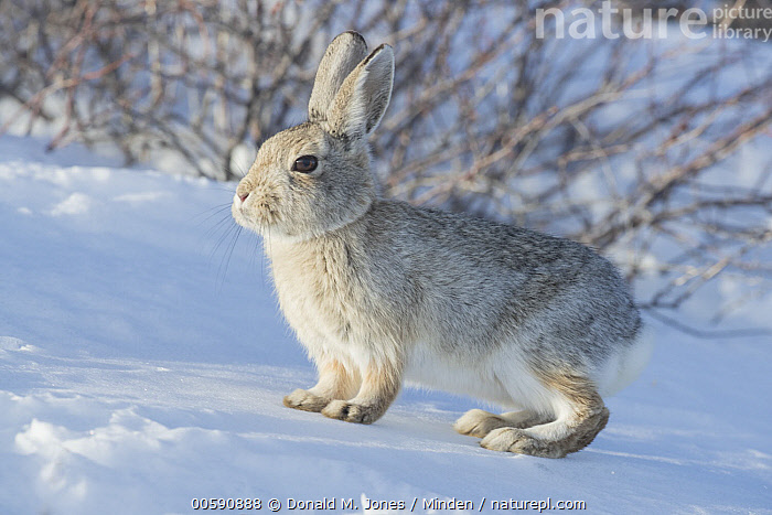 Mountain Cottontail (Sylvilagus nuttallii) in winter, Montana  ,  Adult, Camouflage, Color Image, Cute, Day, Full Length, Horizontal, Montana, Mountain Cottontail, Nobody, One Animal, Outdoors, Photography, Side View, Snow, Sylvilagus nuttallii, Wildlife, Winter  ,  Donald M. Jones