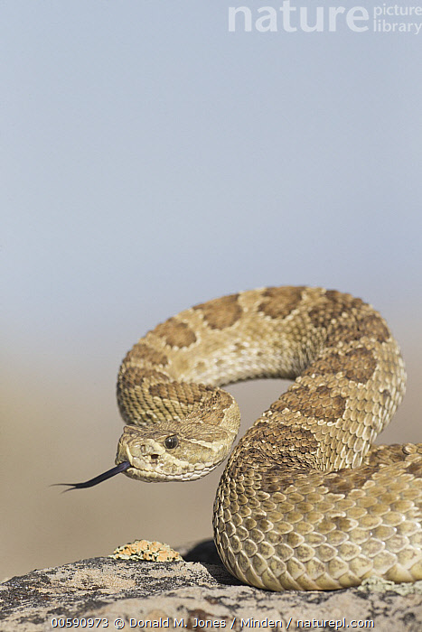 Western Rattlesnake (Crotalus viridis) in defensive posture, North America  ,  Adult, Coiled, Color Image, Crotalus viridis, Day, Defensive Posture, Displaying, Nobody, North America, One Animal, Outdoors, Photography, Side View, Tongue, Venomous, Vertical, Waist Up, Western Rattlesnake, Wildlife  ,  Donald M. Jones