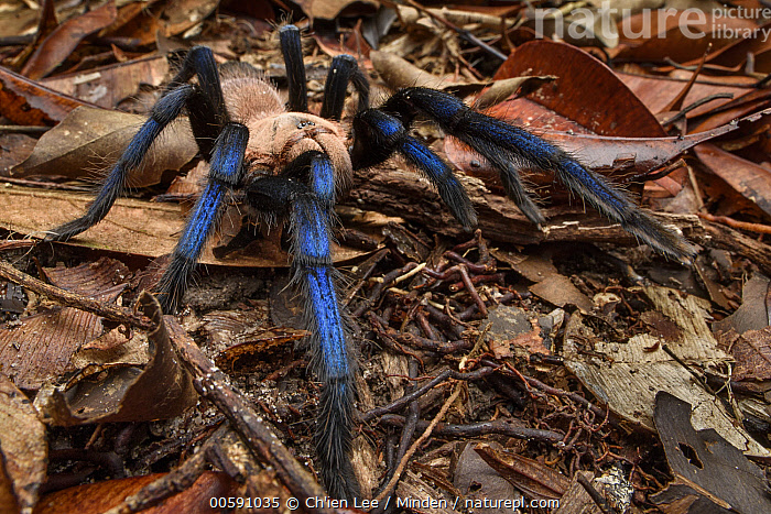 Tarantula (Birupes simoroxigorum) female, new species, Mount Santubong, Sarawak, Borneo, Malaysia  ,  Adult, Birupes simoroxigorum, Borneo, Color Image, Day, Female, Full Length, Horizontal, Malaysia, Mount Santubong, New Species, Nobody, One Animal, Outdoors, Photography, Sarawak, Side View, Tarantula, Wildlife  ,  Chien Lee