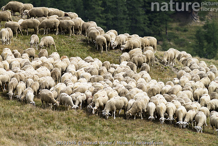 Domestic Sheep (Ovis aries) flock grazing, Queyras, Alps, France  ,  Adult, Alps, Color Image, Day, Domestic Sheep, Flock, France, Front View, Full Length, Grazing, Horizontal, Large Group of Animals, Livestock, Nobody, Outdoors, Ovis aries, Photography, Queyras, Side View  ,  Konrad Wothe