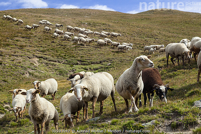 Domestic Sheep (Ovis aries) flock, Queyras, Alps, France  ,  Adult, Alps, Color Image, Day, Domestic Sheep, Flock, France, Front View, Full Length, Horizontal, Large Group of Animals, Livestock, Nobody, Outdoors, Ovis aries, Photography, Queyras, Side View  ,  Konrad Wothe