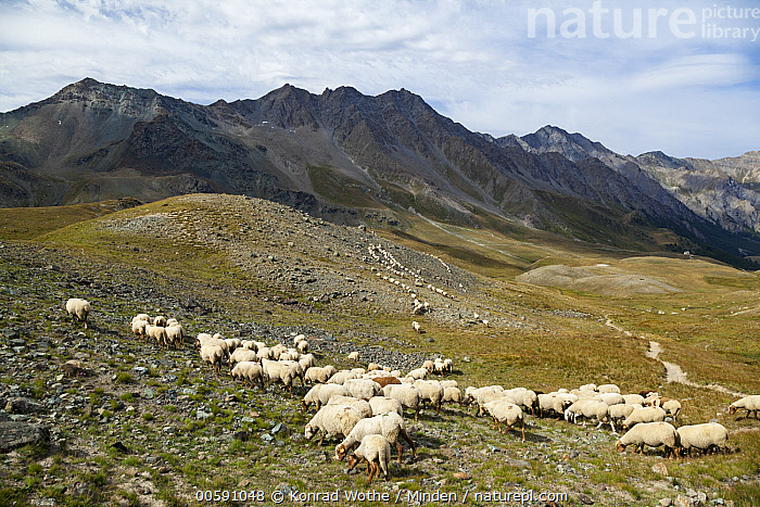 Domestic Sheep (Ovis aries) flock grazing in mountains, Queyras, Alps, France  ,  Adult, Alps, Animal in Landscape, Color Image, Day, Domestic Sheep, Flock, France, Full Length, Grazing, Horizontal, Large Group of Animals, Livestock, Mountain, Nobody, Outdoors, Ovis aries, Photography, Queyras, Side View  ,  Konrad Wothe