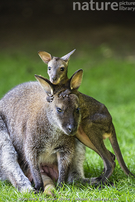 Red-necked Wallaby (Macropus rufogriseus) mother with joey, native to Australia, Adult, Baby, Captive, Color Image, Cute, Day, Female, Front View, Joey, Looking at Camera, Macropus rufogriseus, Marsupial, Mother, Nobody, Outdoors, Parent, Photography, Red-necked Wallaby, Side View, Three Quarter Length, Two Animals, Vertical, Wildlife, Konrad Wothe