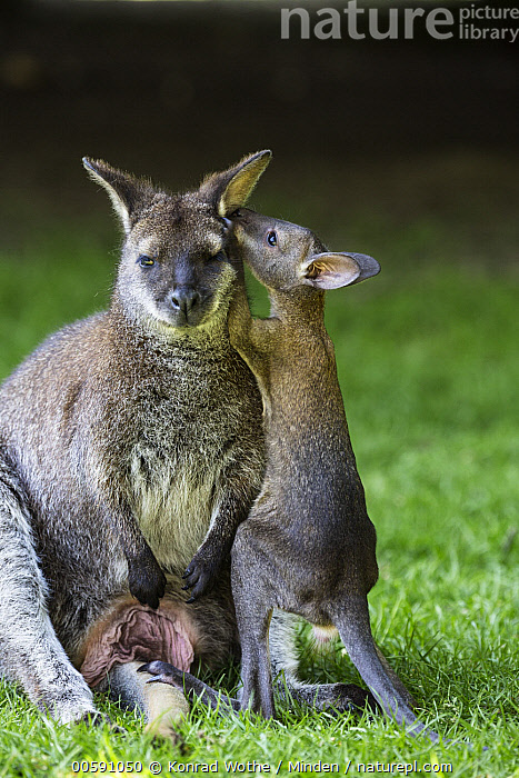 Red-necked Wallaby (Macropus rufogriseus) mother with joey smelling ear, native to Australia  ,  Adult, Baby, Captive, Color Image, Communicating, Day, Ear, Female, Front View, Full Length, Funny, Humor, Joey, Looking at Camera, Macropus rufogriseus, Marsupial, Mother, Nobody, Nuzzling, Outdoors, Parent, Photography, Red-necked Wallaby, Side View, Smelling, Three Quarter Length, Two Animals, Vertical, Wildlife  ,  Konrad Wothe
