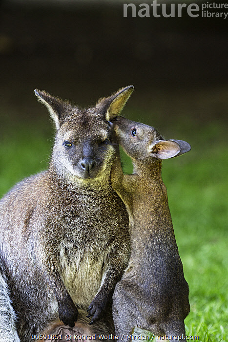 Red-necked Wallaby (Macropus rufogriseus) mother with joey smelling ear, native to Australia  ,  Adult, Baby, Captive, Color Image, Communicating, Day, Ear, Female, Front View, Funny, Humor, Joey, Looking at Camera, Macropus rufogriseus, Marsupial, Mother, Nobody, Nuzzling, Outdoors, Parent, Photography, Red-necked Wallaby, Side View, Smelling, Three Quarter Length, Two Animals, Vertical, Wildlife  ,  Konrad Wothe
