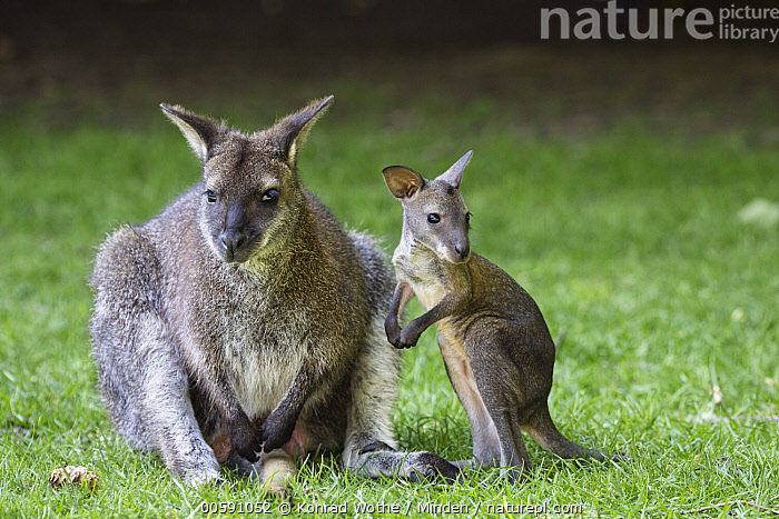 Red-necked Wallaby (Macropus rufogriseus) mother with joey, native to Australia, Adult, Baby, Captive, Color Image, Day, Female, Front View, Full Length, Horizontal, Joey, Macropus rufogriseus, Marsupial, Mother, Nobody, Outdoors, Parent, Photography, Red-necked Wallaby, Side View, Two Animals, Wildlife, Konrad Wothe