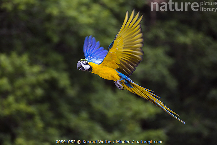 Blue and Yellow Macaw (Ara ararauna) flying, native to Central and South America, Adult, Ara ararauna, Blue and Yellow Macaw, Captive, Color Image, Day, Flying, Full Length, Horizontal, Nobody, One Animal, Outdoors, Parrot, Photography, Side View, Wildlife, Konrad Wothe
