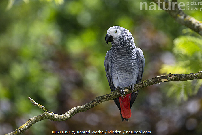 African Grey Parrot (Psittacus erithacus), native to Africa, Adult, African Grey Parrot, Captive, Color Image, Day, Front View, Full Length, Horizontal, Nobody, One Animal, Outdoors, Parrot, Photography, Psittacus erithacus, Wildlife, Konrad Wothe