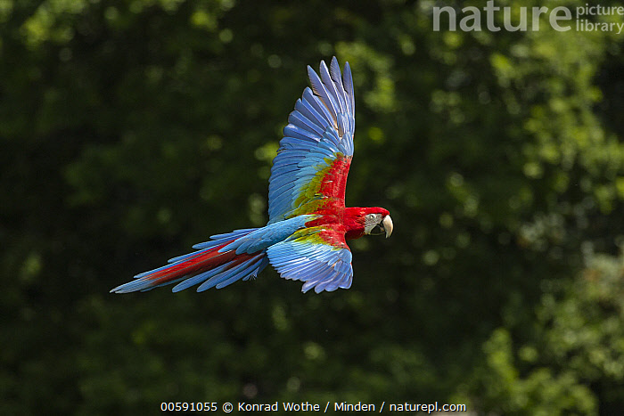 Red and Green Macaw (Ara chloroptera) flying, native to Central and South America, Adult, Ara chloroptera, Captive, Color Image, Day, Flying, Full Length, Horizontal, Nobody, One Animal, Outdoors, Parrot, Photography, Red and Green Macaw, Side View, Wildlife, Konrad Wothe