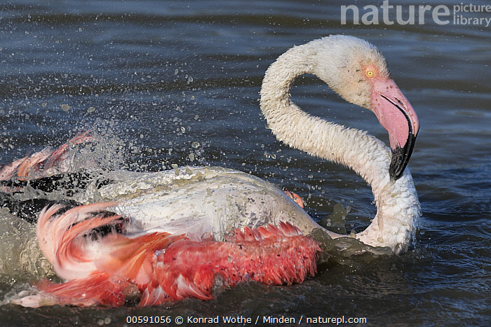 Greater Flamingo (Phoenicopterus ruber) bathing, Camargue, France, Adult, Bathing, Camargue, Color Image, Day, France, Greater Flamingo, Horizontal, Nobody, One Animal, Outdoors, Phoenicopterus ruber, Photography, Pink, Side View, Splashing, Waist Up, Wildlife, Konrad Wothe