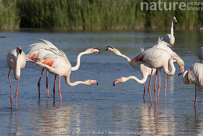 Greater Flamingo (Phoenicopterus ruber) pairs displaying, Camargue, France  ,  Adult, Camargue, Color Image, Communicating, Day, Displaying, France, Full Length, Greater Flamingo, Horizontal, Medium Group of Animals, Nobody, Outdoors, Phoenicopterus ruber, Photography, Side View, Wildlife  ,  Konrad Wothe