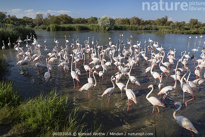 Greater Flamingo (Phoenicopterus ruber) flock, Camargue, France  ,  Adult, Camargue, Color Image, Day, Flock, France, Full Length, Greater Flamingo, Horizontal, Large Group of Animals, Nobody, Outdoors, Phoenicopterus ruber, Photography, Side View, Wildlife  ,  Konrad Wothe