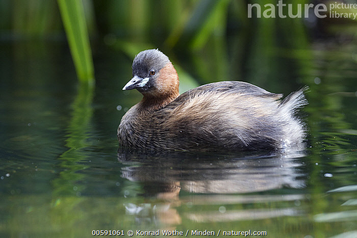 Little Grebe (Tachybaptus ruficollis), Lake Kochelsee, Upper Bavaria, Germany, Adult, Color Image, Day, Full Length, Germany, Horizontal, Little Grebe, Nobody, One Animal, Outdoors, Photography, Side View, Tachybaptus ruficollis, Upper Bavaria, Water Bird, Wildlife, Konrad Wothe