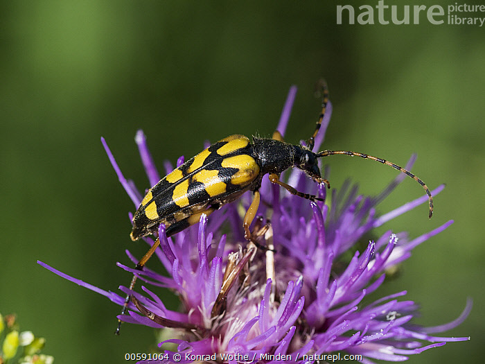 Spotted Longhorn Beetle (Strangalia maculata), Upper Bavaria, Germany, Adult, Aposematic Coloration, Color Image, Day, Full Length, Germany, Horizontal, Nobody, One Animal, Outdoors, Photography, Side View, Spotted Longhorn Beetle, Strangalia maculata, Upper Bavaria, Wildlife, Konrad Wothe