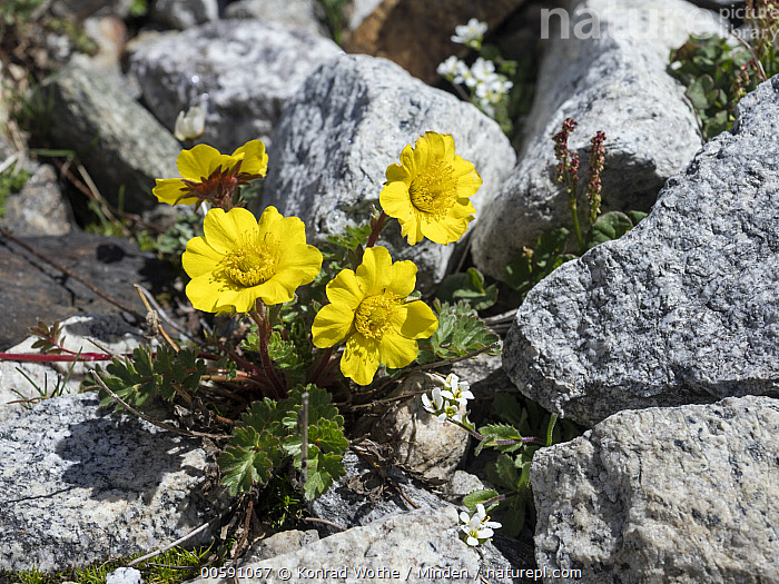 Creeping Avens (Geum reptans) flowers, Zillertal, Alps, Tyrol, Austria, Adversity, Alps, Austria, Color Image, Creeping Avens, Day, Flower, Geum reptans, Horizontal, Nobody, Outdoors, Photography, Tyrol, Yellow, Zillertal, Konrad Wothe