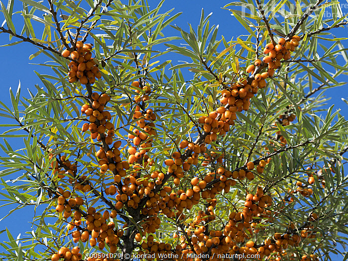 Common Seabuckthorn (Hippophae rhamnoides) berries, Germany, Berry, Color Image, Common Seabuckthorn, Day, Germany, Hippophae rhamnoides, Horizontal, Low Angle View, Nobody, Orange, Outdoors, Photography, Konrad Wothe