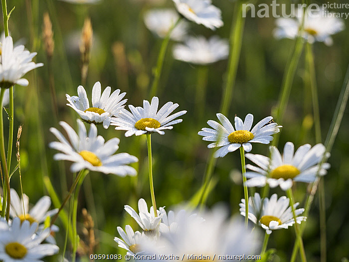 Marguerite (Leucanthemum vulgare) flowers, Upper Bavaria, Germany  ,  Color Image, Day, Flower, Germany, Horizontal, Leucanthemum vulgare, Marguerite, Nobody, Outdoors, Photography, Upper Bavaria, White  ,  Konrad Wothe
