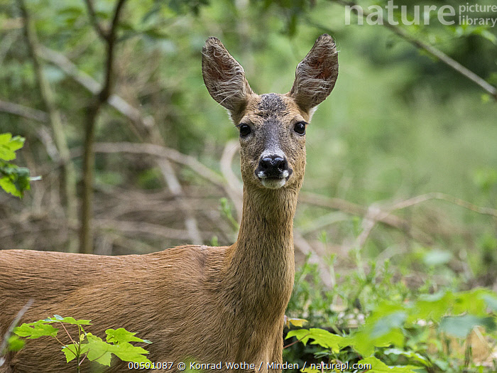Western Roe Deer (Capreolus capreolus) doe, Upper Bavaria, Germany, Adult, Capreolus capreolus, Color Image, Day, Doe, Female, Germany, Horizontal, Looking at Camera, Nobody, One Animal, Outdoors, Photography, Side View, Upper Bavaria, Waist Up, Western Roe Deer, Wildlife, Konrad Wothe