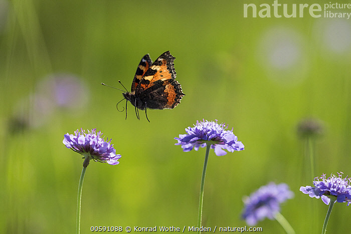 Small Tortoiseshell (Aglais urticae) butterfly flying, Bavaria, Germany  ,  Adult, Aglais urticae, Bavaria, Butterfly, Color Image, Day, Flying, Full Length, Germany, High Speed, Horizontal, Nobody, One Animal, Outdoors, Photography, Side View, Small Tortoiseshell, Wildlife  ,  Konrad Wothe