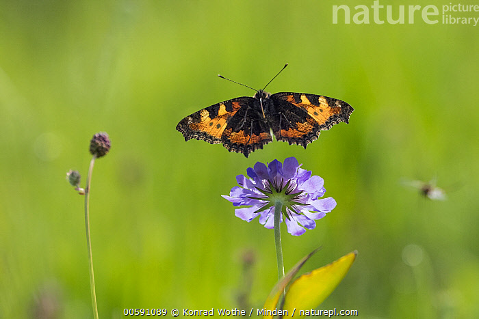 Small Tortoiseshell (Aglais urticae) butterfly flying, Bavaria, Germany, Adult, Aglais urticae, Bavaria, Butterfly, Color Image, Day, Flying, Front View, Full Length, Germany, High Speed, Horizontal, Nobody, One Animal, Outdoors, Photography, Small Tortoiseshell, Wildlife, Konrad Wothe
