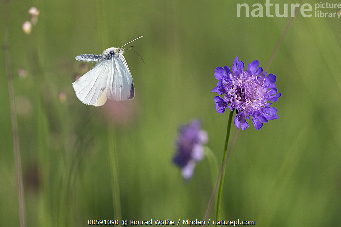 Cabbage White (Pieris rapae) butterfly flying, Upper Bavaria, Germany  ,  Adult, Butterfly, Cabbage White, Color Image, Day, Flying, Full Length, Germany, High Speed, Horizontal, Nobody, One Animal, Outdoors, Photography, Pieris rapae, Side View, Upper Bavaria, Wildlife  ,  Konrad Wothe