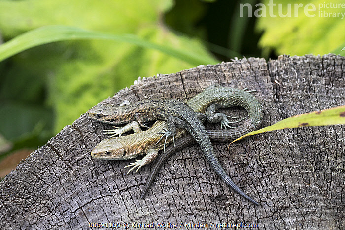Common Wall Lizard (Podarcis muralis) pair, Upper Bavaria, Germany  ,  Adult, Color Image, Common Wall Lizard, Day, Full Length, Germany, High Angle View, Horizontal, Nobody, Outdoors, Photography, Podarcis muralis, Side View, Two Animals, Upper Bavaria, Wildlife  ,  Konrad Wothe