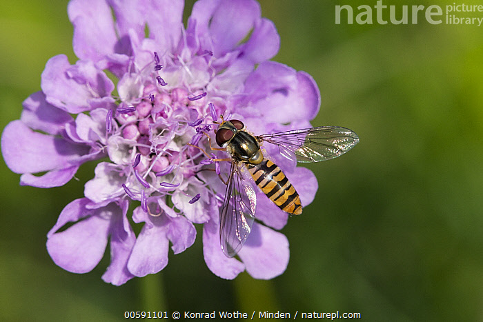Marmalade Hover Fly (Episyrphus balteatus), Bavaria, Germany  ,  Adult, Bavaria, Color Image, Day, Episyrphus balteatus, Full Length, Germany, Horizontal, Marmalade Hover Fly, Nobody, One Animal, Outdoors, Photography, Top View, Wildlife  ,  Konrad Wothe