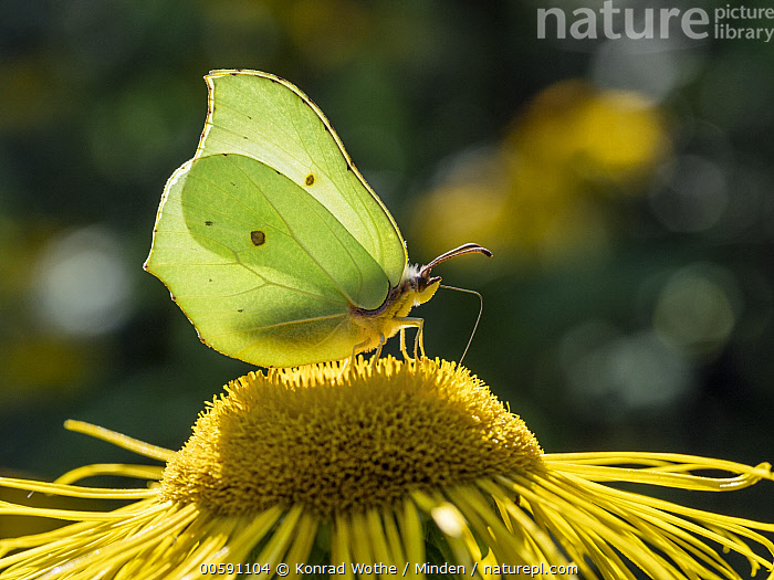 Brimstone (Gonepteryx rhamni) butterfly, Upper Bavaria, Germany  ,  Adult, Brimstone, Butterfly, Color Image, Day, Full Length, Germany, Gonepteryx rhamni, Horizontal, Nobody, One Animal, Outdoors, Photography, Side View, Upper Bavaria, Wildlife  ,  Konrad Wothe