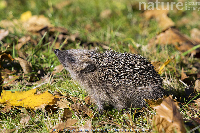 Brown-breasted Hedgehog (Erinaceus europaeus) in autumn, Bavaria, Germany  ,  Adult, Autumn, Bavaria, Brown-breasted Hedgehog, Color Image, Day, Erinaceus europaeus, Full Length, Germany, Horizontal, Nobody, One Animal, Outdoors, Photography, Side View, Sunning, Wildlife  ,  Konrad Wothe