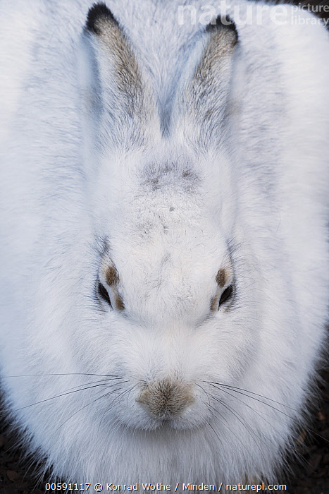 Mountain Hare (Lepus timidus), native to North America, Adult, Captive, Color Image, Day, Front View, High Angle View, Lepus timidus, Mountain Hare, Nobody, One Animal, Outdoors, Photography, Three Quarter Length, Vertical, Wildlife, Konrad Wothe