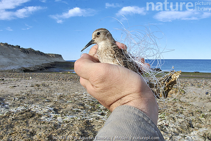 Baird's Sandpiper (Calidris bairdii) entangled in plastic, Chubut, Argentina  ,  Adult, Argentina, Baird's Sandpiper, Calidris bairdii, Caucasian Appearance, Chubut, Color Image, Day, Entangled, Environmental Issue, Fishing Line, Full Length, Hand, Holding, Horizontal, One Animal, Outdoors, Photography, Plastic, Pollution, Shorebird, Side View, Wildlife  ,  Agustin Esmoris