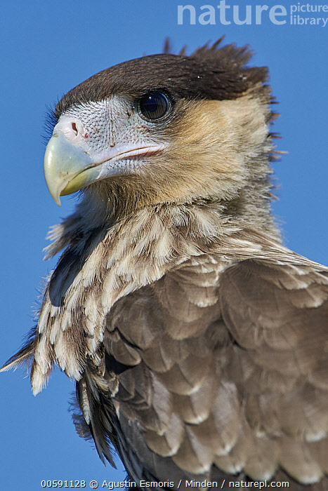 Southern Caracara (Caracara plancus) juvenile, Chubut, Argentina, Adult, Argentina, Caracara plancus, Chubut, Color Image, Day, Head and Shoulders, Juvenile, Nobody, One Animal, Outdoors, Photography, Portrait, Profile, Raptor, Side View, Southern Caracara, Vertical, Wildlife, Agustin Esmoris