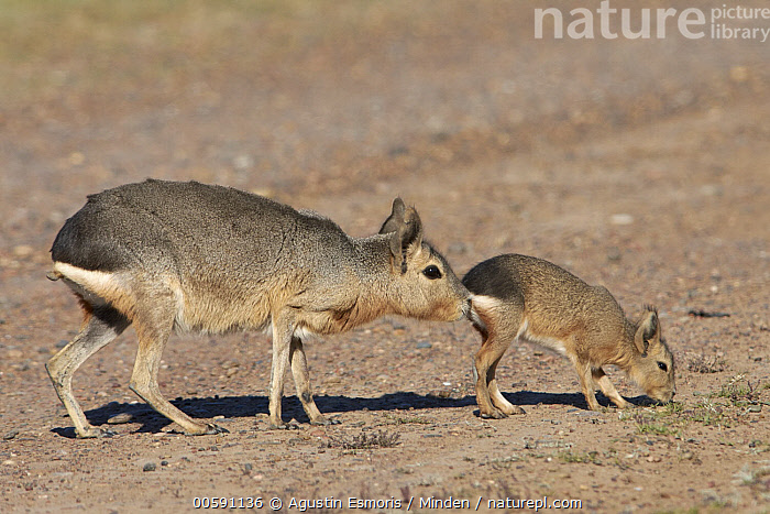 Patagonian Mara (Dolichotis patagonum) mother smelling young, Chubut, Argentina, Adult, Argentina, Baby, Chubut, Color Image, Day, Dolichotis patagonum, Female, Full Length, Horizontal, Mother, Nobody, Outdoors, Patagonian Mara, Parent, Photography, Side View, Smelling, Two Animals, Wildlife, Young, Agustin Esmoris