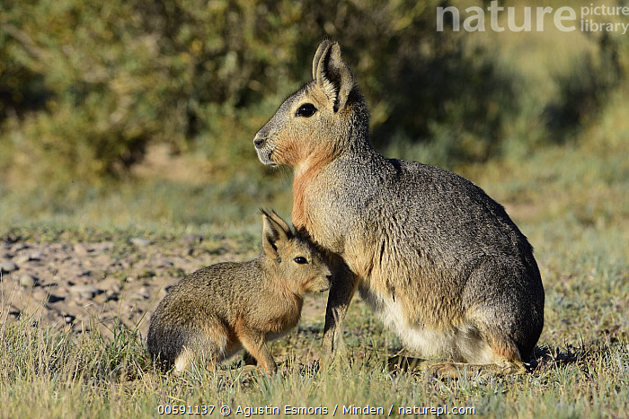 Patagonian Mara (Dolichotis patagonum) mother and young, Chubut, Argentina  ,  Adult, Argentina, Baby, Chubut, Color Image, Day, Dolichotis patagonum, Female, Full Length, Horizontal, Mother, Nobody, Outdoors, Patagonian Mara, Parent, Photography, Side View, Two Animals, Wildlife, Young  ,  Agustin Esmoris