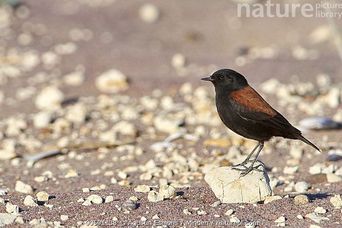 Patagonian Negrito (Lessonia rufa), Chubut, Argentina  ,  Adult, Argentina, Chubut, Color Image, Day, Full Length, Horizontal, Lessonia rufa, Nobody, One Animal, Outdoors, Patagonian Negrito, Photography, Side View, Songbird, Wildlife  ,  Agustin Esmoris