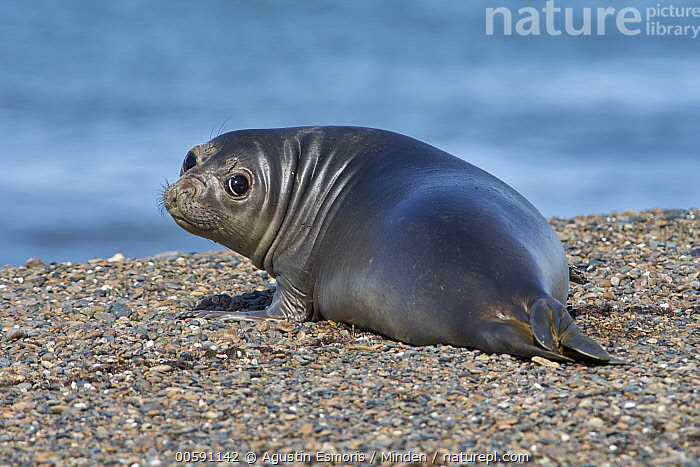 Southern Elephant Seal (Mirounga leonina) pup, Chubut, Argentina  ,  Adult, Argentina, Baby, Chubut, Color Image, Day, Full Length, Horizontal, Looking at Camera, Looking Back, Marine Mammal, Mirounga leonina, Nobody, One Animal, Outdoors, Photography, Pup, Rear View, Southern Elephant Seal, Wildlife  ,  Agustin Esmoris