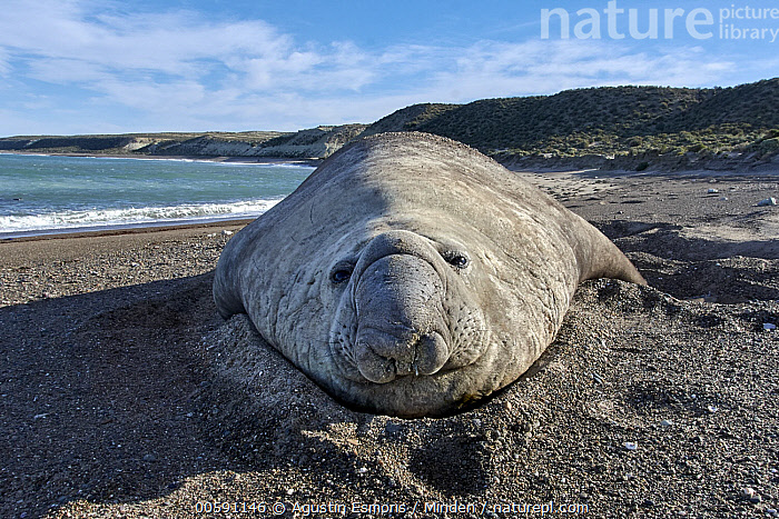 Southern Elephant Seal (Mirounga leonina) male, Chubut, Argentina  ,  Adult, Animal in Habitat, Argentina, Beach, Chubut, Coast, Color Image, Day, Front View, Full Length, Horizontal, Looking at Camera, Male, Marine Mammal, Mirounga leonina, Nobody, One Animal, Outdoors, Photography, Southern Elephant Seal, Wide-angle Lens, Wildlife  ,  Agustin Esmoris