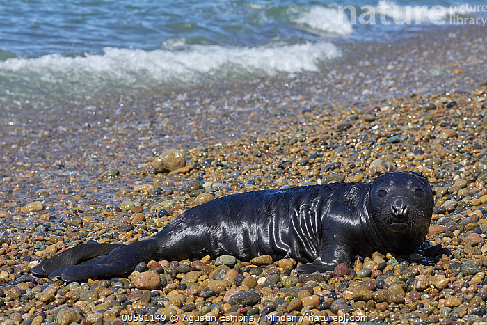 Southern Elephant Seal (Mirounga leonina) newborn pup, Chubut, Argentina  ,  Adult, Argentina, Chubut, Color Image, Day, Full Length, Horizontal, Looking at Camera, Marine Mammal, Mirounga leonina, Newborn, Nobody, One Animal, Outdoors, Photography, Pup, Side View, Southern Elephant Seal, Wildlife  ,  Agustin Esmoris