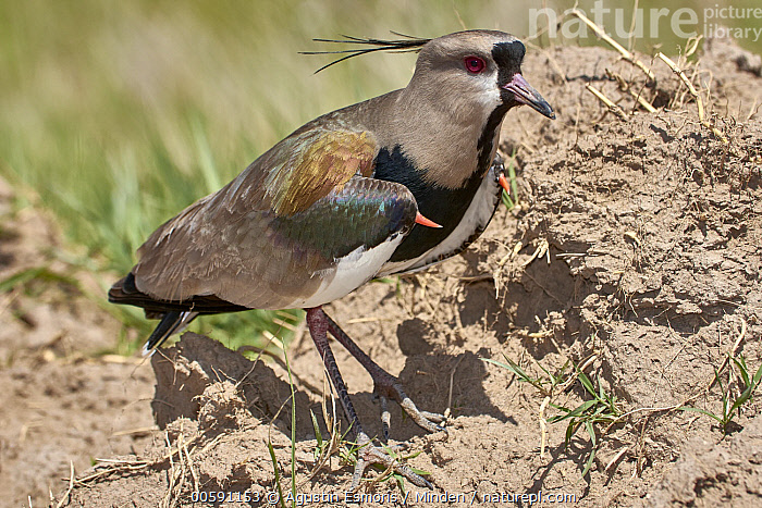 Southern Lapwing (Vanellus chilensis), Chubut, Argentina  ,  Adult, Argentina, Chubut, Color Image, Day, Full Length, Horizontal, Nobody, One Animal, Outdoors, Photography, Shorebird, Side View, Southern Lapwing, Vanellus chilensis, Wildlife  ,  Agustin Esmoris