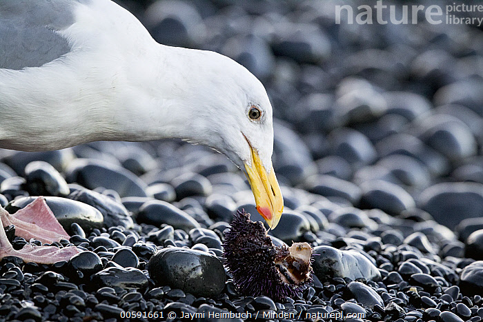 Western Gull (Larus occidentalis) feeding on Purple Sea Urchin (Strongylocentrotus purpuratus) prey, Yaquina Head Outstanding Natural Area, Newport, Oregon  ,  Adult, Color Image, Day, Feeding, Horizontal, Larus occidentalis, Newport, Nobody, One Animal, Oregon, Outdoors, Photography, Predator, Prey, Purple Sea Urchin, Seabird, Side View, Strongylocentrotus purpuratus, Waist Up, Western Gull, Wildlife, Yaquina Head Outstanding Natural Area  ,  Jaymi Heimbuch
