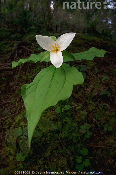 Pacific Trillium (Trillium ovatum) flower, Big Creek Park, Newport, Oregon, Big Creek Park, Color Image, Day, Flower, Newport, Nobody, Oregon, Outdoors, Pacific Trillium, Photography, Trillium ovatum, Vertical, Jaymi Heimbuch