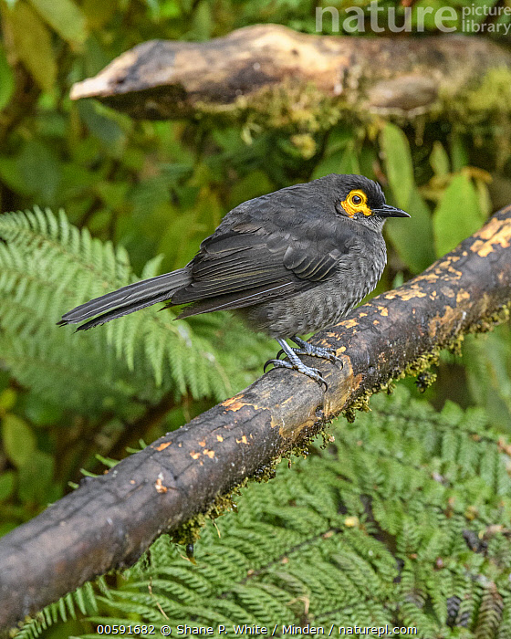 Smoky Honeyeater (Melipotes fumigatus), Kumul Lodge, Papua New Guinea  ,  Adult, Color Image, Day, Full Length, Kumul Lodge, Melipotes fumigatus, Nobody, One Animal, Outdoors, Papua New Guinea, Photography, Side View, Smoky Honeyeater, Songbird, Vertical, Wildlife  ,  Shane P. White