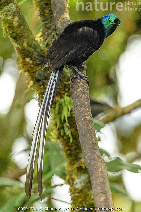 Ribbon-tailed Astrapia (Astrapia mayeri), Kumul Lodge, Papua New Guinea  ,  Adult, Astrapia mayeri, Color Image, Day, Full Length, Kumul Lodge, Nobody, One Animal, Outdoors, Papua New Guinea, Photography, Ribbon-tailed Astrapia, Side View, Songbird, Vertical, Wildlife  ,  Shane P. White