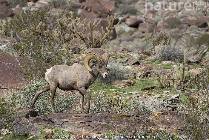 Desert Bighorn Sheep (Ovis canadensis nelsoni) ram, Anza-Borrego Desert State Park, California, Adult, Anza-Borrego Desert State Park, California, Color Image, Day, Desert Bighorn Sheep, Full Length, Horizontal, Male, Nobody, One Animal, Outdoors, Ovis canadensis nelsoni, Photography, Ram, Side View, Wildlife, Richard Herrmann
