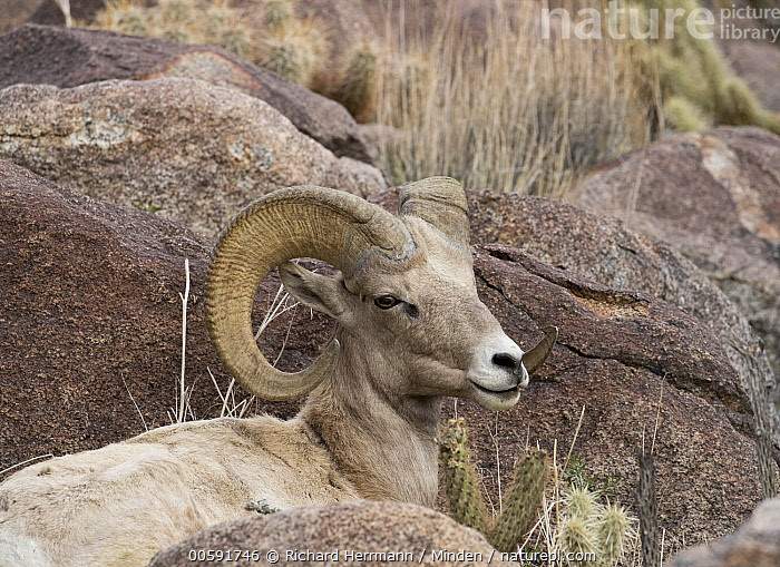 Desert Bighorn Sheep (Ovis canadensis nelsoni) ram, Anza-Borrego Desert State Park, California, Adult, Anza-Borrego Desert State Park, California, Color Image, Day, Desert Bighorn Sheep, Horizontal, Male, Nobody, One Animal, Outdoors, Ovis canadensis nelsoni, Photography, Ram, Side View, Waist Up, Wildlife, Richard Herrmann