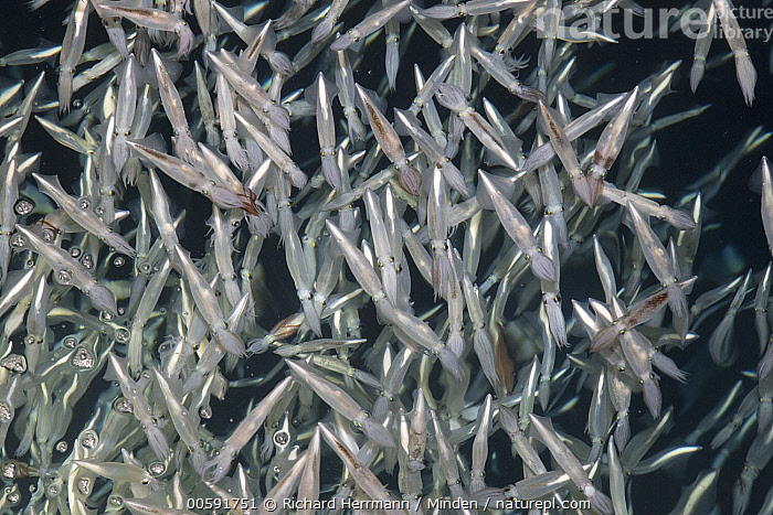 Squid (Loligo opalescens) group, Silver Canyon, Catalina Island, California  ,  Adult, California, Catalina Island, Color Image, Day, Full Length, Horizontal, Large Group of Animals, Loligo opalescens, Nobody, Outdoors, Photography, Side View, Silver Canyon, Squid, Underwater, Wildlife  ,  Richard Herrmann
